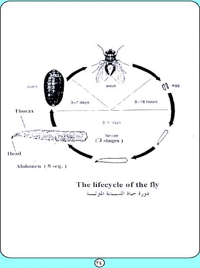 دورة حياة الذباب