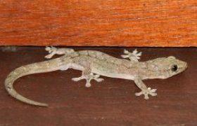 -Gecko-260x180
