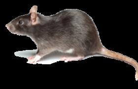 rat-260x180